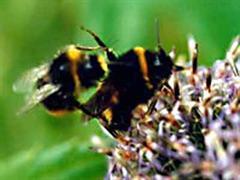 Wichtige Arbeiter: 80 Prozent aller Nutzpflanzen werden von Bienen bestäubt.