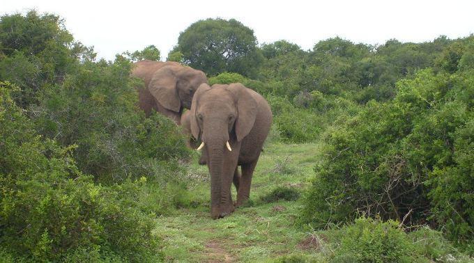 In Kenia wird eine Zunahme der illegalen Jagd auf Elefanten und Nashörner festgestellt. (Symbolbild)